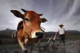牛不是累死的,牛到底是怎么死的?