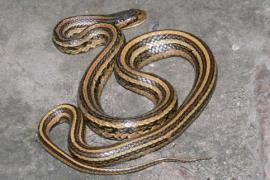 盘点户外常见的蛇介绍,最后一种致命