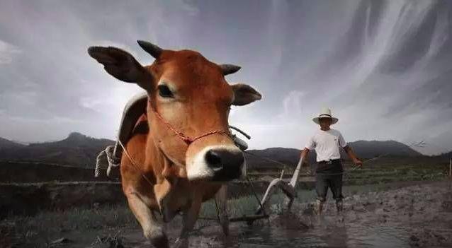 牛不是累死的,牛到底是怎么死的?-小姚工作室