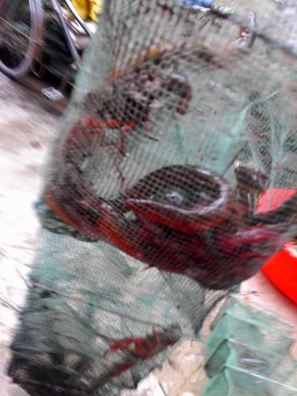 张瑞兵精品黄鳝网小兵网小兵笼抓鳝鱼逮黄鳝淘宝兽哥老王的文章-小姚工作室