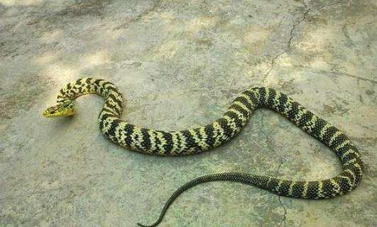 盘点户外常见的蛇介绍,最后一种致命-小姚工作室